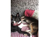 Border Collie Cross for sale