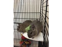 Two male degus free to good home