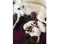 Wippit X Bull greyhound collie puppies