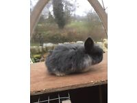 Baby lop rabbits for sale.