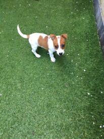 Beautiful miniature jack Russel puppy