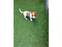 Beautiful miniature jack Russel puppy