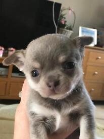 KC Registered tiny lilac chihuahua's