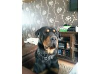 Gorgeous 4 yr old Rottweiler male