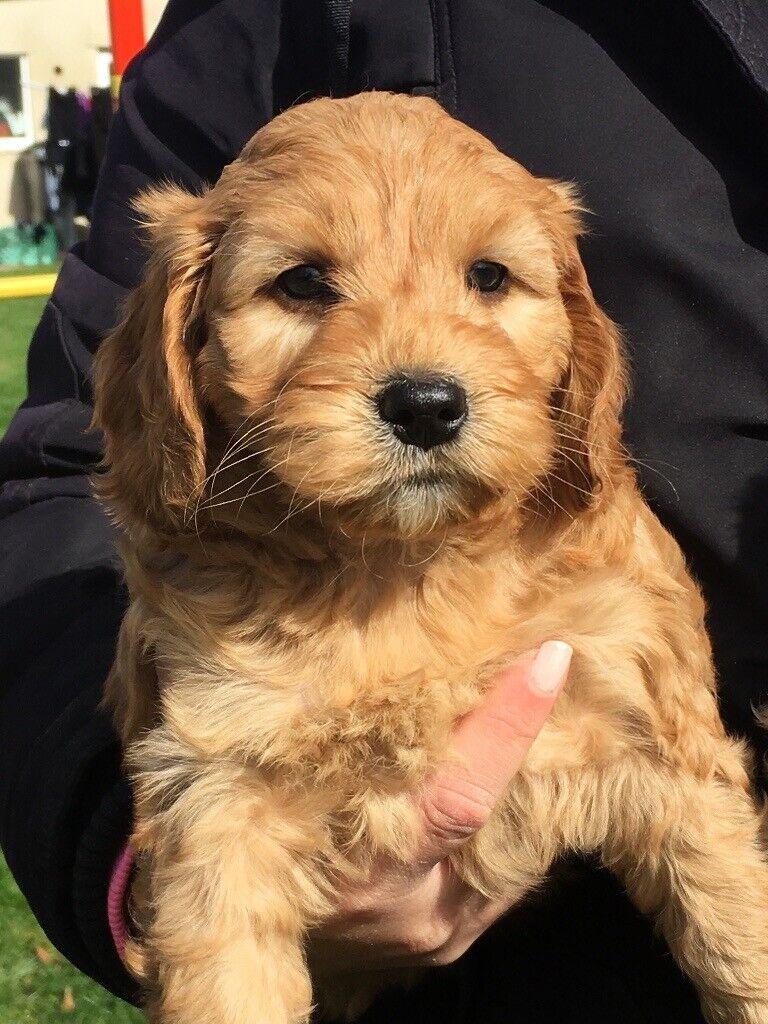 F1 Cockapoo puppies | in Somerset | Gumtree