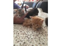 Adorable kittens for sale all colours Ginger, black spotted multicoloured kittens