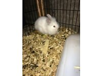 Baby Lion head rabbits for sale