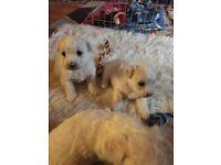 Bichon Frise Puppies, KC reg
