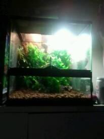 Mourning geckos plus setup