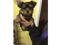 Tiny male Yorkie puppy