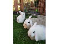 Mini lops and lionhead bunnies for sale