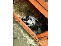 4 female rabbits and hutch for sale