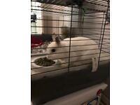 Netherland dwarf rabbit white male