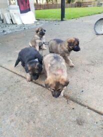 German sheaprd pups long haired