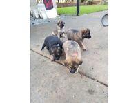 German sheaprd pups long haired