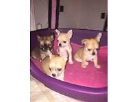 Chihuahua girl pup 🌟 Last pup🌟
