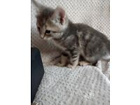 Beautiful tabby kittens for sale.