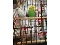 Two Birds with cage
