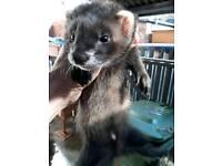 Eu cross dark polecat hob kit for sale