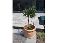 2 garden planters terracotta plus one lollipop tree