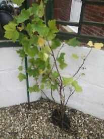 Red currants Gooseberry St John' s Wort organically grown Plants