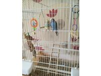 Two budgies for sale, with cage, accessories, and stand. Blue female, and small male.