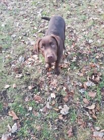 6 month old chocolate lab