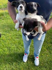Jack Russel pups ready now!!!