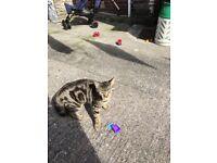 Found, tabby male kitten in plymouth