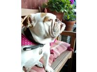 British Bulldog Needs new home.