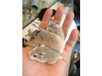 roborovski hamster baby's and adults for sale