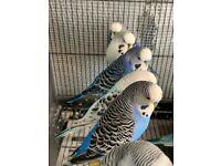 Budgies in London | Birds for Sale - Gumtree