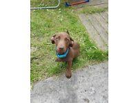 Miniature dashound puppy