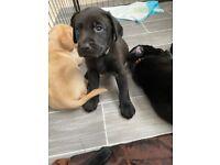 KC Labrador puppies for sale