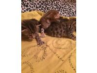 X Bengal kitten sale
