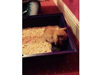 Mini lop rabbit + cage