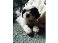 Shih Tzu x Bichon Frise Boy Puppy