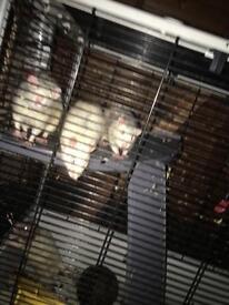 4 male rats