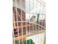 American White Baby Parrotlet (small parrot)- Semi tame