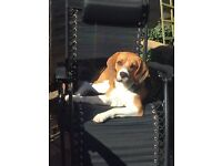 Male beagle with full certificates
