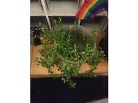 FREE AQUARIUM PLANTS URGENTLY GIVE AWAY