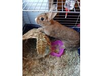 £50 Rabbit (to a good home), food, staw, cage and accessories included