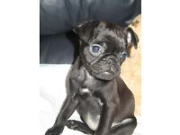 3/4 pug puppies for sale.