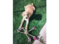 Labrador puppy, 10 weeks old female