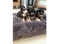 Beautiful miniature Cocker poo puppies
