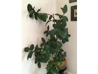 """Beautiful Real Rubber Tree/Plant """"Ficus Elastica"""" with pot"""