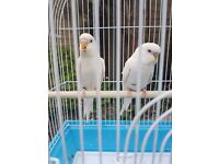 Pair of pure white albino red eyes baby budgies. 08 weeks ,friendly and full of character