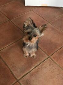 Female miniature yorkie Yorkshire terrier