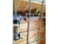 Male budgie £15