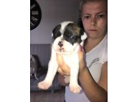 French bulldog cross pup shih-tzu